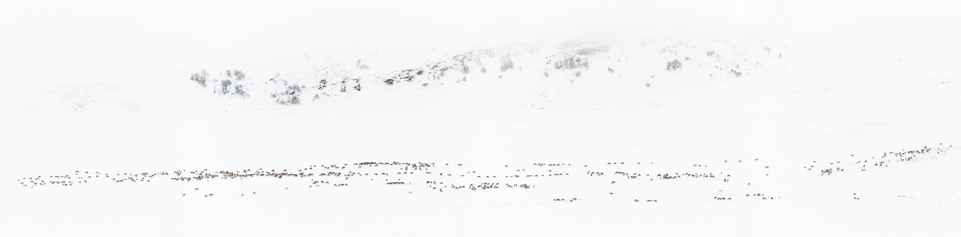 Panorama with wild reindeer