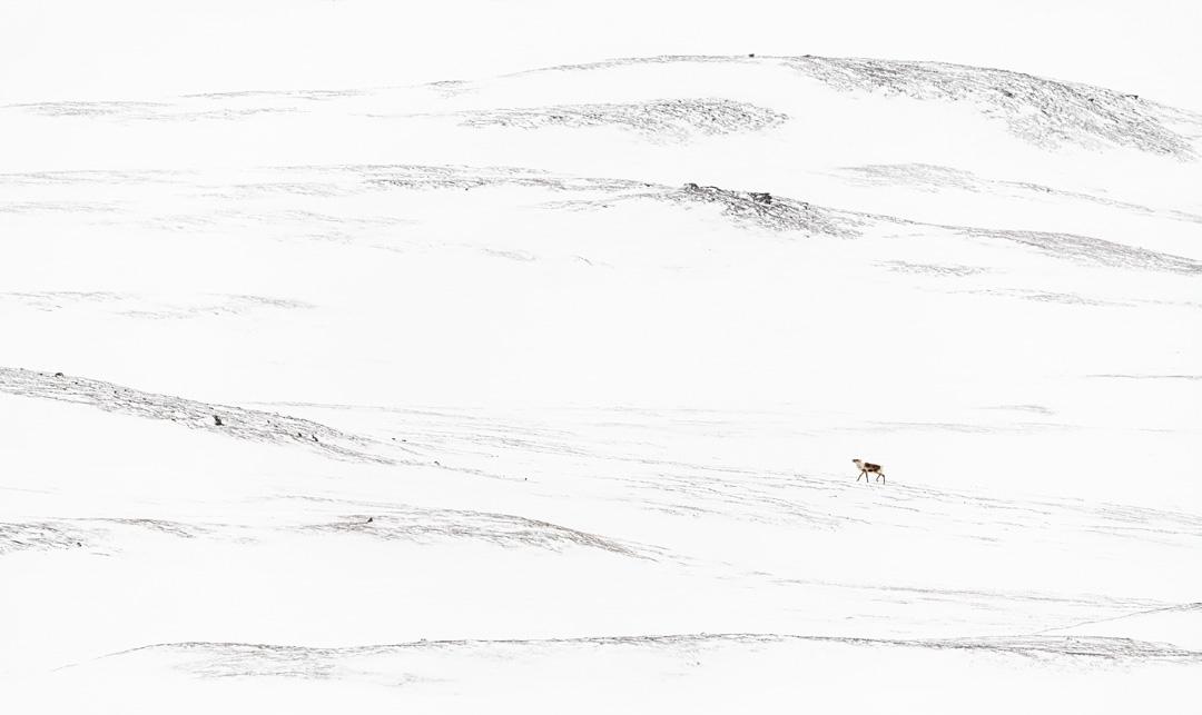 Lone reindeer