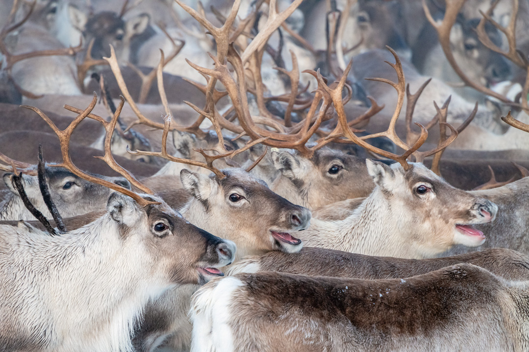 Reindeer gathering #1