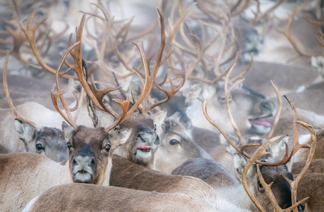 Reindeer gathering #2