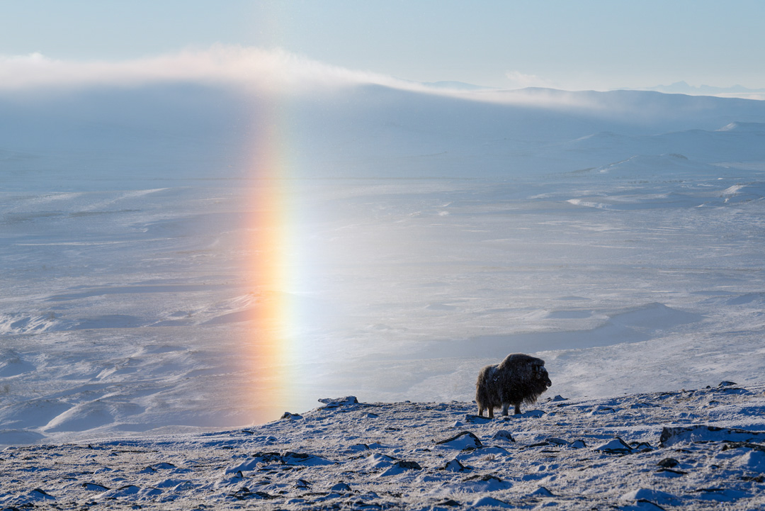 Musk ox and halo