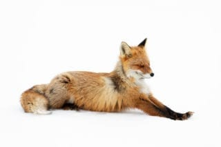 Red fox stretching
