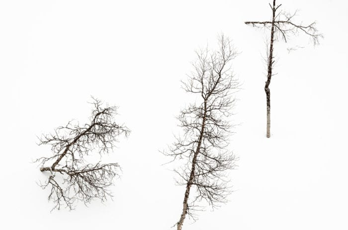 Isolated birches