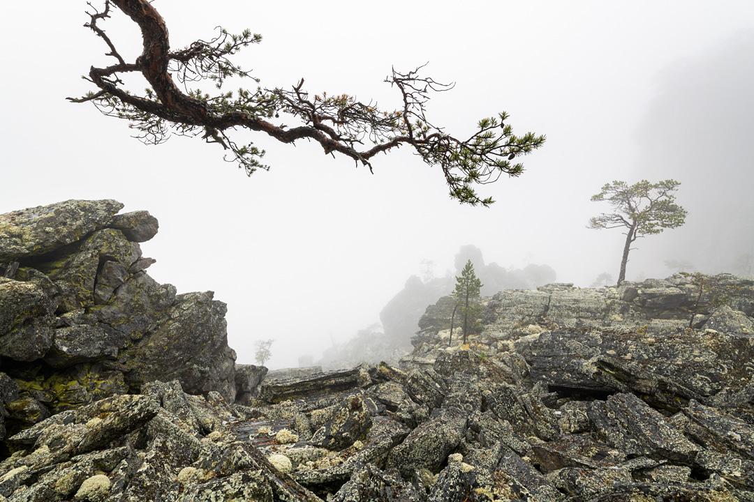 Resolute pines