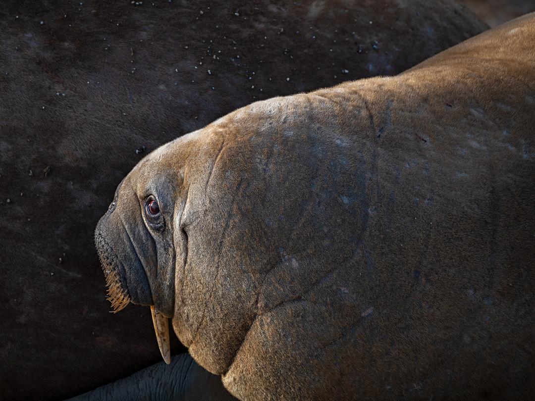 Walrus portrait