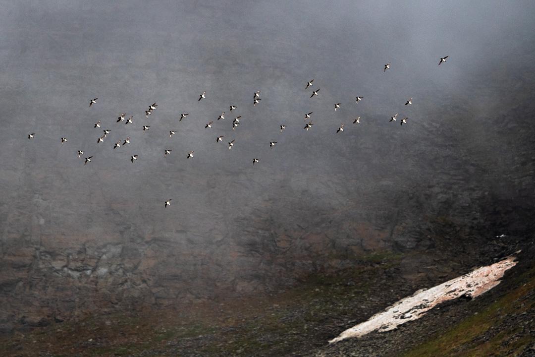 Auk flock
