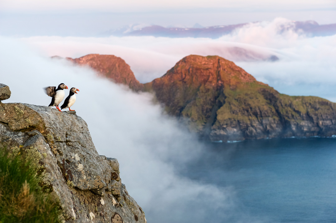 Puffins in the mist