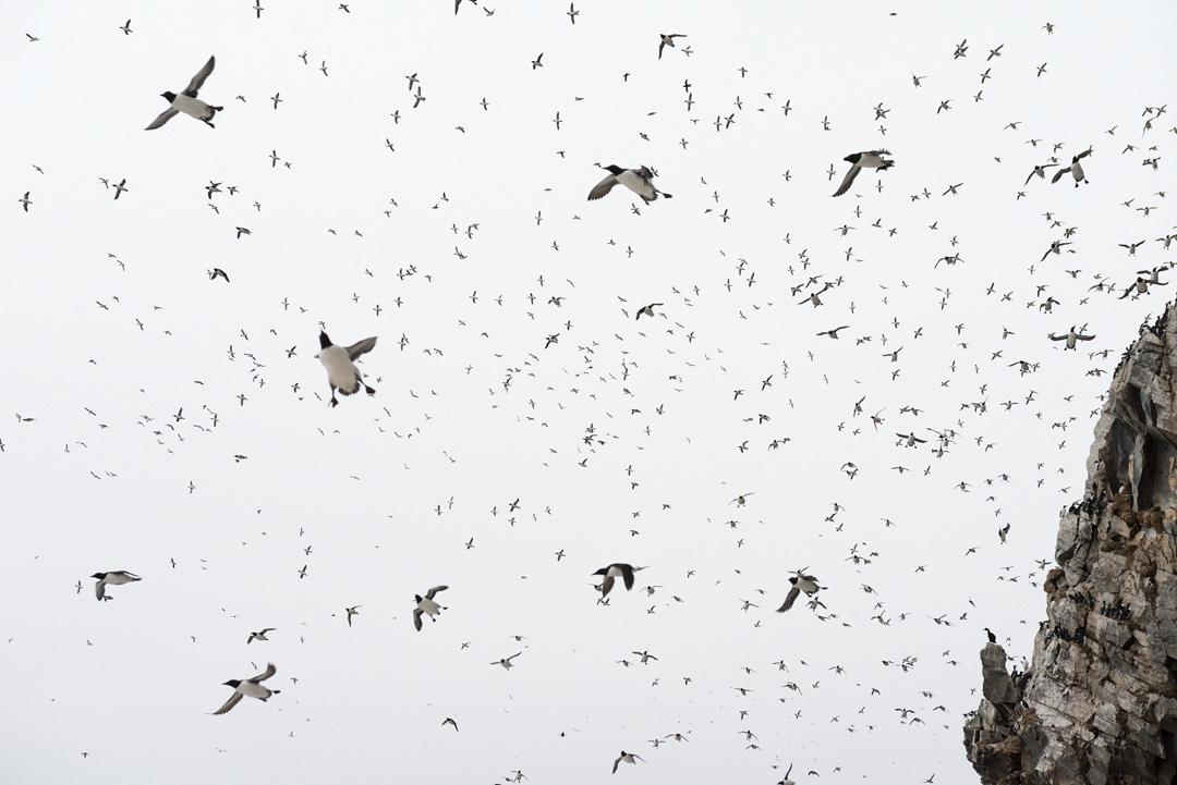 Guillemots in the grey skies