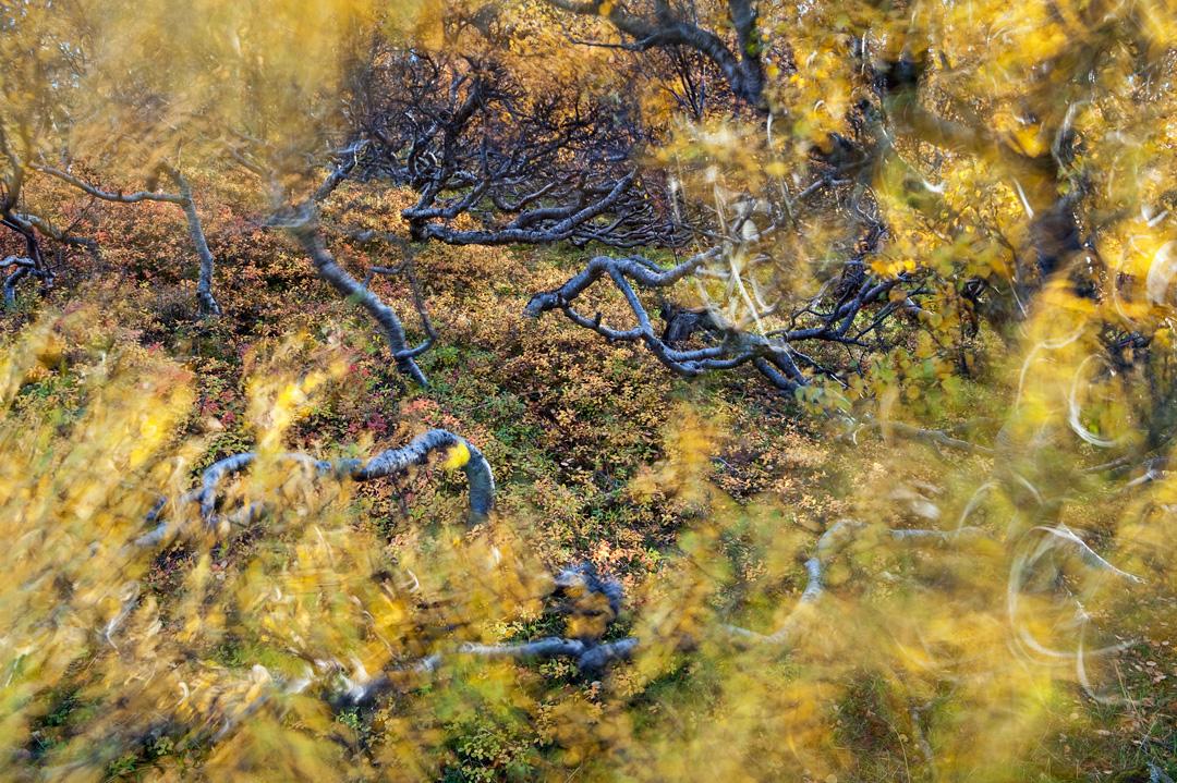 Wind in birch forest