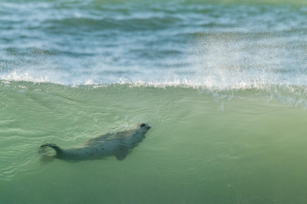 Surfing seal