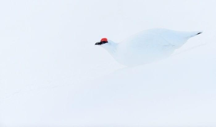 Ptarmigan in snow
