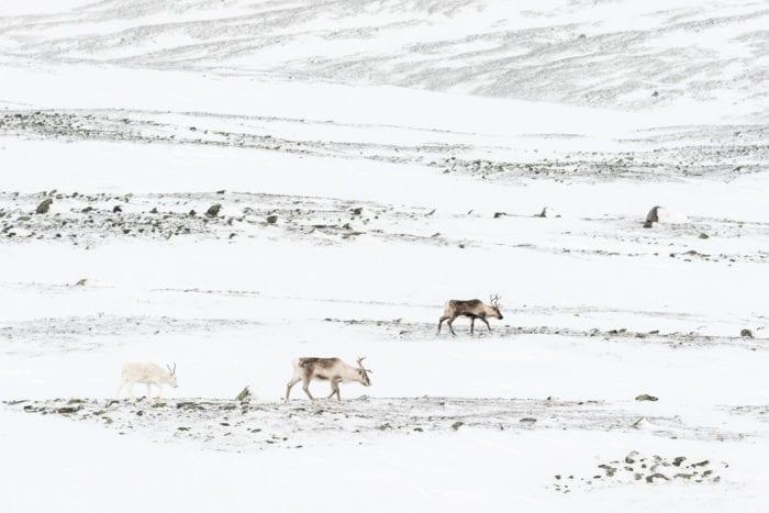 Wandering reindeer
