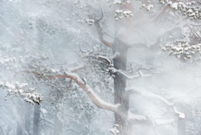 Wind through pine forest